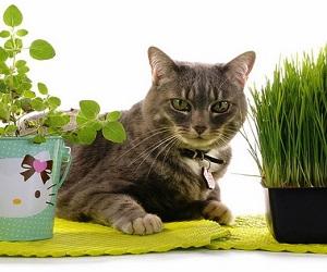 Фолиева кислота для кота